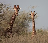 Curious girafs look at the photographer Abu Dhabi Abu Nair Island