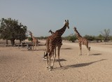 Girafs at Abu Nair Island Natural Park Abu Dhabi United Arab Emirates