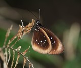 flying insect moth butterfly polymorphism colour beauty New Caledonia
