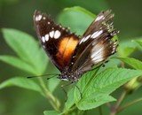 Butterfly butterflies order Lepidoptera New Caledonia insect endemic fauna