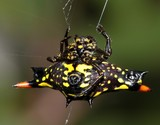 gasteracantha rubrospinis New Caledonia spider spiny goldorak insect dry forest