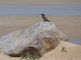 Merops orientalis muscatensis on rock in the desert of Ras al Khaimah mangrove United Arab Emirats