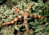 nardoa frianti shrimp seastar Stripped Star New Caledonia lagoon exploration
