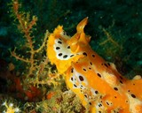 nudibranch oman sea diving yellow wihte black spot plocamopherus margaretae