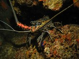 blue spiny lobster - Oman Sea - Musandam - Octopus rock