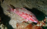 Redspot Goatfish - Oman sea - Ras Lima