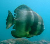 Platax teira Tall fin batfish Lima Rock South Musandam peninsula Sultanate of Oman