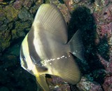 Platax teira Tall fin batfish Oman sea Mussandam Lima rock north
