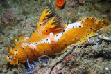 nudibranche oman jaune blanc avec point noir plocamopherus dibba diving
