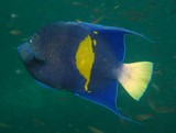 half moon angelfish - Oman sea - octopus rock
