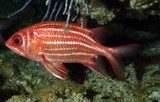 SARGOCENTRON RUBRUM poisson rouge de la mer d'oman red fish from oman sea diving musandam