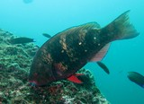 Gulf parrotfish musandam oman diving dibba octopus rock