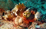 Whiteblotched scorpionfish - Oman Sea