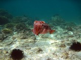 Pharao cuttlefish - Oman sea