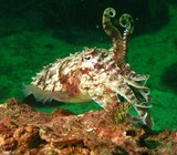 Pharao cuttlefish oman sea squid musandam oman