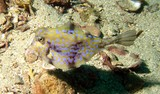 Trunk fish - Poisson Valise - mer d'Oman