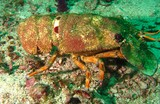 flathead lobster - Oman - Mussandam - octopus rock