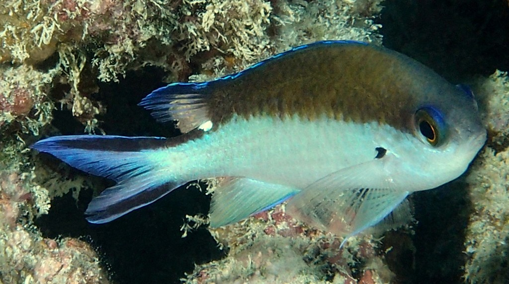 Chromis fumea Smokey chromis New Caledonia Adults inhabit lagoon and seaward coral and rocky reefs