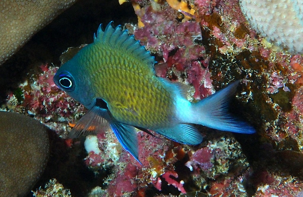 Chromis chrysura Stout-body chromis New Caledonia Dumbea Reef ocean side