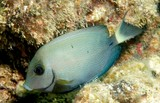 Acanthurus grammoptilus Ring-tailed surgeonfish New Caledonia fish identification