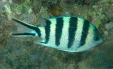 Abudefduf sexfasciatus Scissortail sergeant stripetail damselfish six-barred sergeant fish New Caledonia