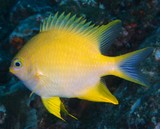 Amblyglyphidodon aureus Golden damselfish New Caledonia Body golden yellow, with blue spots on scales of head and body