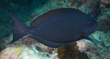 Acanthurus albipectoralis Whitefin surgeonfish New Caledonia Body varying from light bluish grey to dark brown