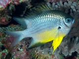 Amblyglyphidodon leucogaster Yellowbelly damselfish devil New Caledonia