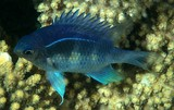 Amblyglyphidodon curacao Clouded damselfish New Caledonia scuba diving