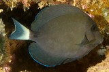 Acanthurus grammoptilus Inshore Surgeon New Caledonia  profile of the snout is rather convex