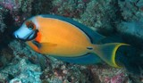 Acanthurus pyroferus Pacific mimic surgeon New Caledonia a trace of orange behind eye