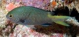 Chromis kennensis 肯礁光鳃鱼 新喀里多尼亞