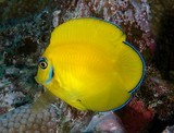 Acanthurus pyroferus bright yellow with blue markings on head Centropyge flavissima