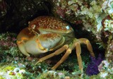 crabe bombe crab deadly from oman musandam diver lima rock south diving center